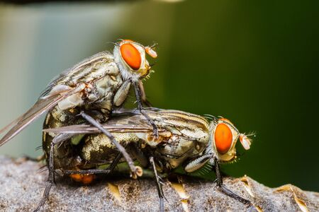 Close up of couple flies mating on a leaf Stock Photo - 21040876
