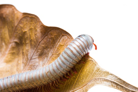 Isolated of Millipede on leaf photo