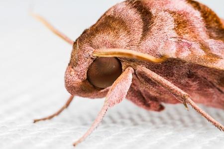 sphingidae: Close up Sphingidae family of moths on white background Stock Photo
