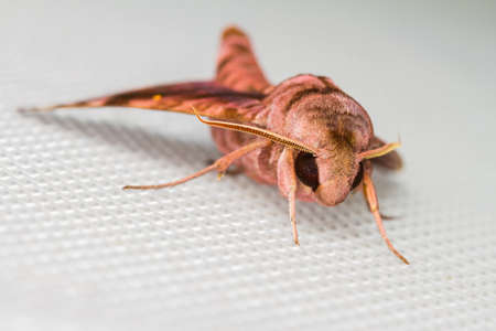 sphingidae: Isolated Sphingidae family of moths