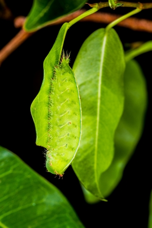 Close up green caterpillar on leaf photo