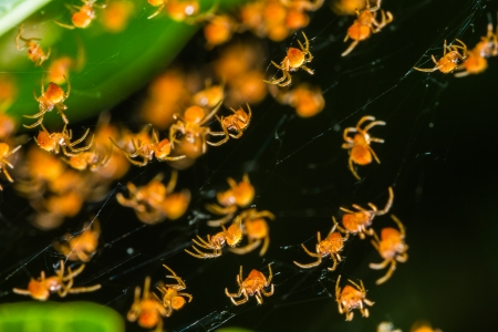 Groups of babies spider in cobweb Stock Photo - 23443203
