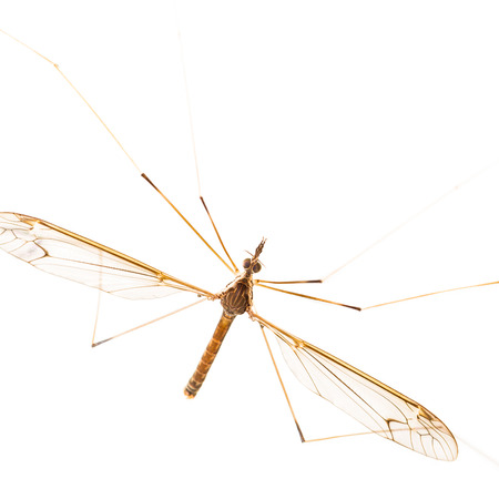 Close up of crane fly on white photo