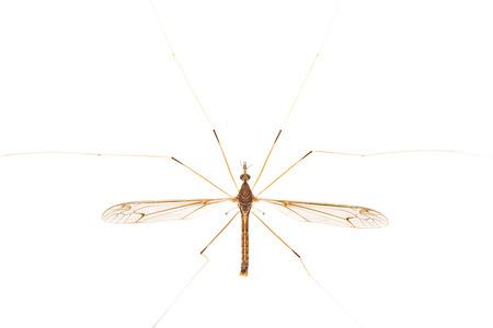 crane fly: Close up of crane fly on white Stock Photo