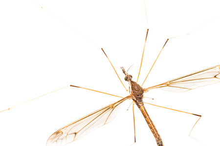 tipulidae: Close up of crane fly on white Stock Photo