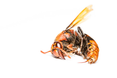 Close up of dead wasp on white background photo