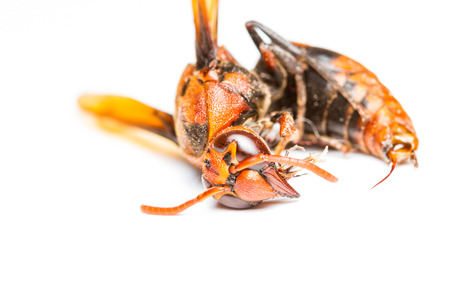 abdomen yellow jacket: Close up of dead wasp on white background