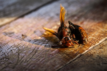 abdomen yellow jacket: Close up of dead wasp on wooden Stock Photo