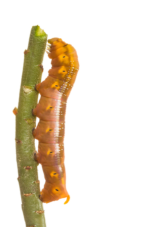 Butterfly larva climbing on tree trunk on white background photo