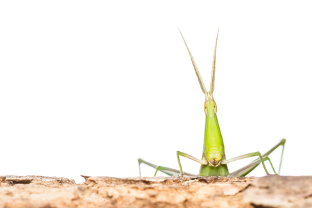 Green Long head Grasshopper on wooden photo