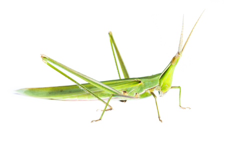 Long head Grasshopper on white background photo