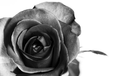 Rose black and white isolated Stock Photo