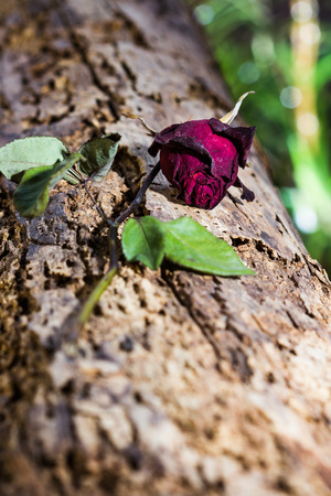 Withered roses on wood photo