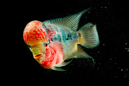 Flowerhorn Cichlid fish on black background