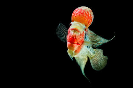 Flowerhorn Cichlid fish on black background photo