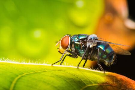 Close up housefly resting on green leaf photo