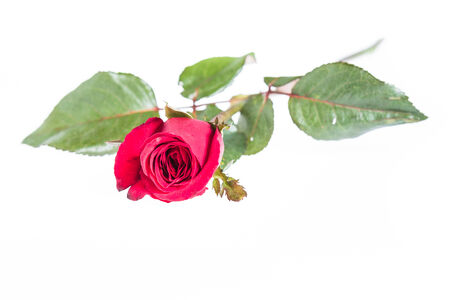 Close up red rose isolated on white background photo