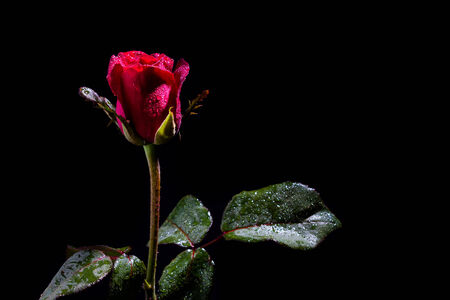 Red rose with water drops on black background photo