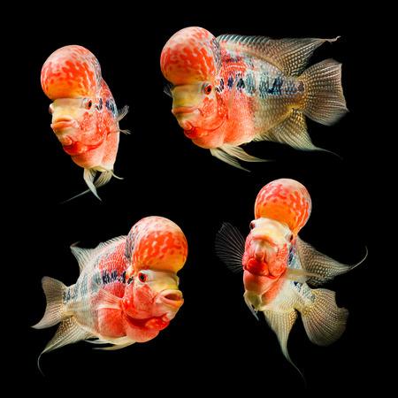 Flowerhorn Cichlid fish on black background