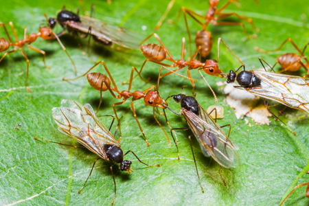 Red Ants army fighting with queen black ant