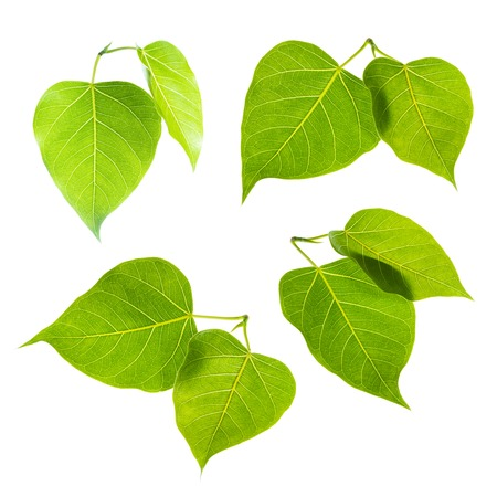 bo: Bodhi or Sacred fig leaf on white background Stock Photo