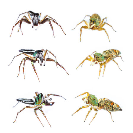 Male and female cosmophasis umbratica jumping spider set on white background photo