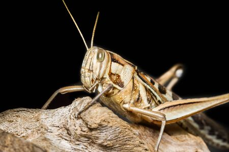 Close up of a big yellow grasshopper photo