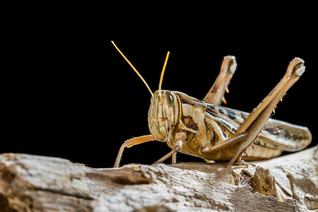 Close up of a big yellow grasshopper Stock Photo
