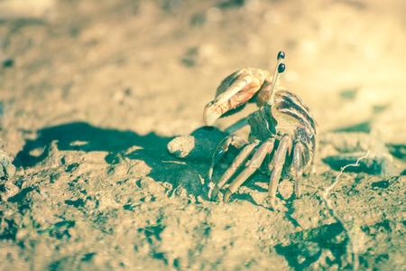 fiddler: Fiddler crab on mangrove forest