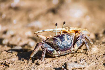 fiddler: Big asymmetric claw of fiddler crab
