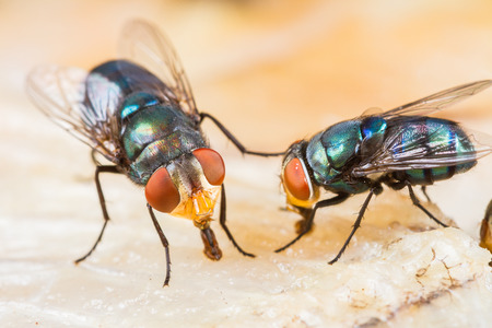 Close up of many fly or bluebottle eating dried fish