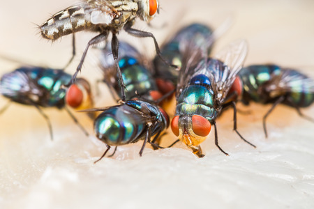 multicolored eye macro: Close up of many fly or bluebottle eating dried fish