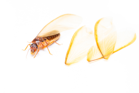 Isolated of alate or termite white ant on white background