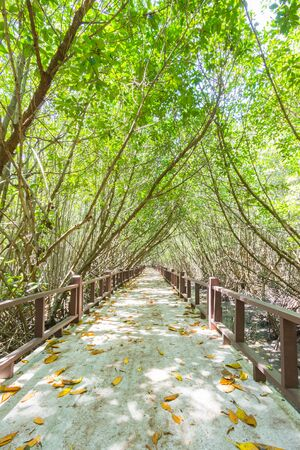 Dry leaves fall on the mangrove forest walkways Фото со стока
