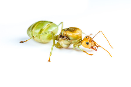Isolated Queen of Red Ant on White Background