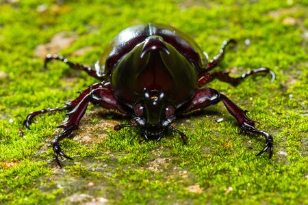 Close up of Dynastinae Fighting Beetle sleep on floor