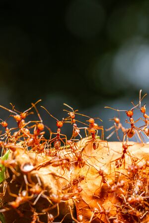 Close up red ants teamwork rescue of larvae in nest, Giant red ants protect ant eggs and ant pupae on nest made from green leaf