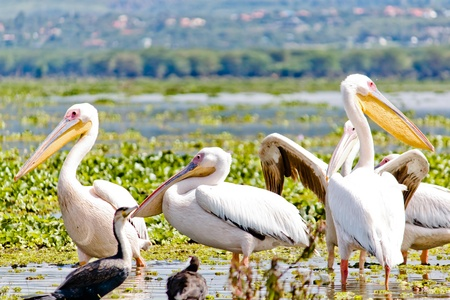 lake naivasha: Some Pelicanos in the Lake Naivasha