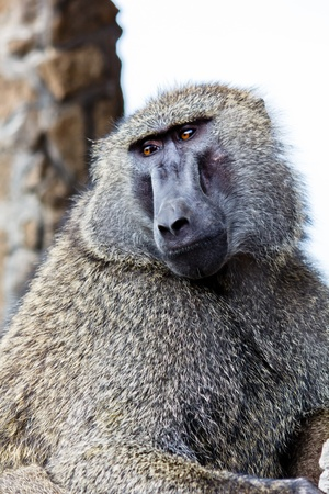 Baboon in the Kenya Stock Photo - 11870116
