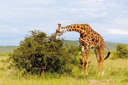 adult kenya: The Giraffe