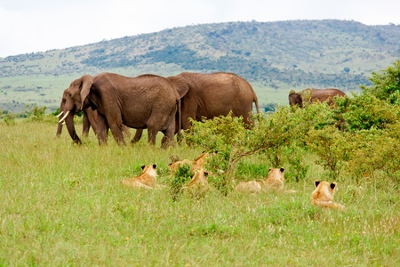 Lions and Elephants photo