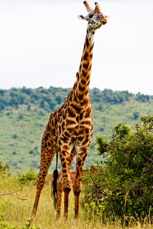 The Giraffe Stock Photo - 12423708