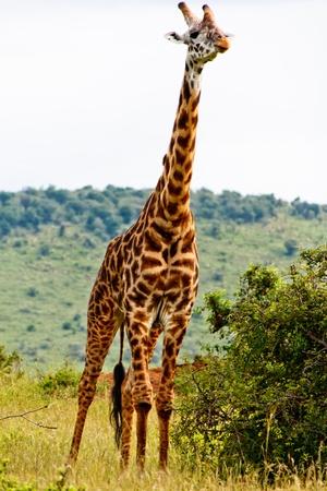 The Giraffe Stock Photo - 12423708