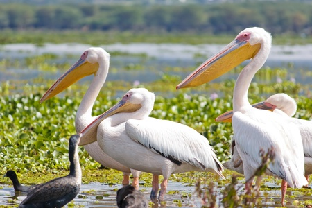 lake naivasha: Some Pelicanos in the Lake Naivasha