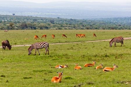 Gazelles and Zebras Stock Photo - 13187945