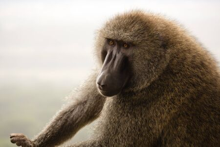 Baboon in the Kenya Stock Photo - 13525419