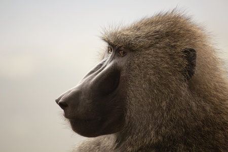 Baboon in the Kenya Stock Photo - 13525424