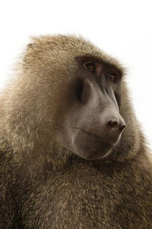 Baboon in the Kenya Stock Photo - 13525422