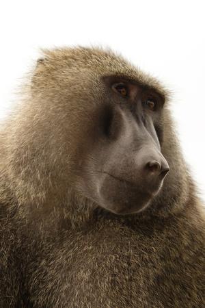 Baboon in the Kenya Stock Photo - 13525422