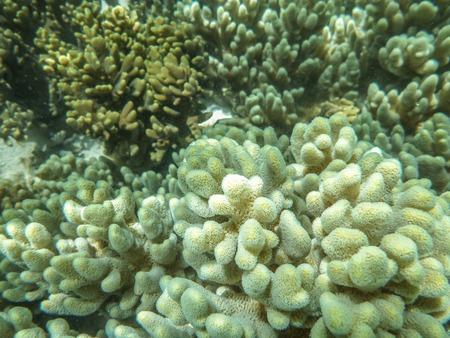 ocellaris: Corals